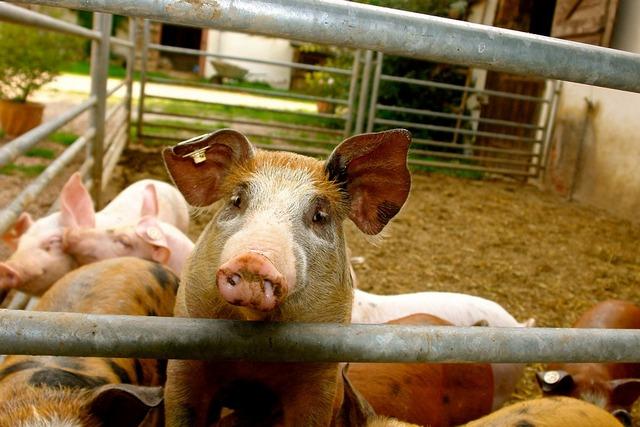 курган новости -хауралье курганская область чума свиней