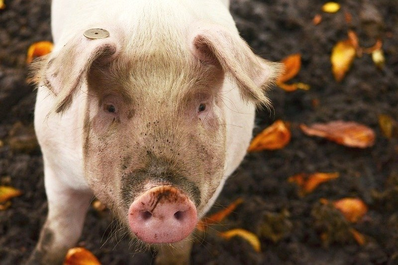 курган новости свинья