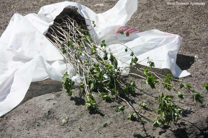 К Дню Победы в Кургане посадили новую аллею.