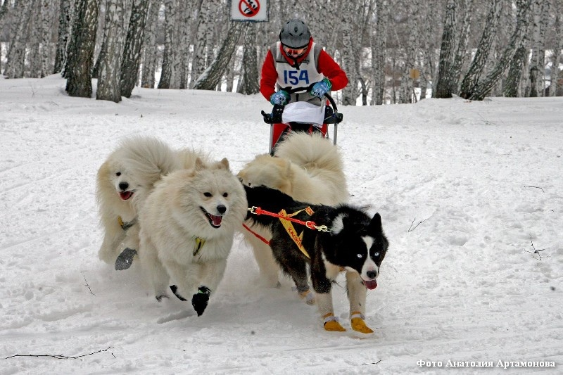 В Кургане впервые прошла гонка на собачьих упряжках